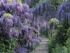 Wisteria walk at Hermannshof, Germany