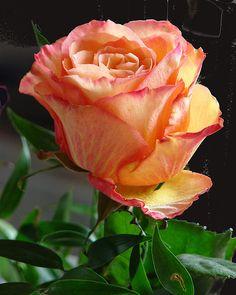 Beautiful Rose Flowers, Love Rose, Flowers Nature, Amazing Flowers, Beautiful Gardens, Orange Wedding Flowers, Orange Roses, Red Roses, Sunday Rose