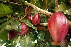 Chocolatier Vanessa tells of Venezuela Cacao. In Spanish and English.  https://www.santabarbarachocolate.com/blog/el-cacao-venezolano-y-santa-brbara-chocolate-the-organic-chocolate-source/
