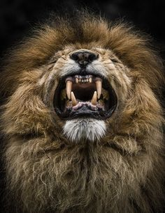 Wild - Lion - Animal Photography by Wolf Ademeit Nature Animals, Zoo Animals, Animals And Pets, Cute Animals, Exotic Animals, Beautiful Cats, Animals Beautiful, Grand Chat, Gato Grande
