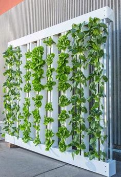 Create a masterpiece of fresh produce for your home! Learn how aquaponic systems can be customized to fit any space #apartmentprepping #selfsufficiency #balconygardening