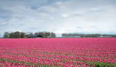 Beautiful flowerfields around Zeewolde. Just shows that small towns can have an amazing surrounding