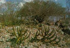 Flora da Caatinga - Brasil