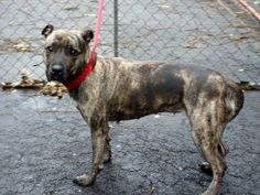 TO BE DESTROYED 11/25/13 Manhattan Center P CASEY #A0984756  Spayed female br brindle pit bull mix  4 YRS STRAY 11/12/13  Casey is a little shy but sociable & needing comfort. Affectionate, wants  human warmth. Seems to have been loved as a pet & was not a yard dog. Can sit & stay on command, & is friendly toward other dogs. Likes to play ball. Is already spayed and would make a wonderful companion to the one who will appreciate her inner and outer beauty. Casey is waiting...hopeful.