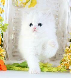 Lilac Point Himalayan Kitten www.dollfacepersiankittens.com