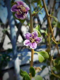 fiore della bacca di goji