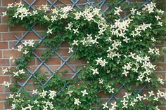 Clematis montana var. wilsonii on a wall.