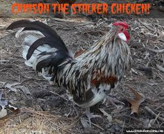 C is for Crimson - The Stalker Chicken! - Live and Learn Farm Live And Learn, Blogging, Alphabet, Shit Happens, Chicken, Learning, Business, Funny, Alpha Bet