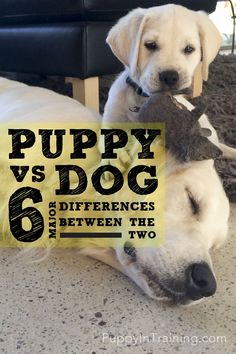Should I get a puppy or a dog? After having both simultaneously we quickly found out that there are major differences between training a puppy vs dog. Puppy Training Tips, Training Your Dog, Dog Minding, Getting A Puppy, Aggressive Dog, Service Dogs, Dog Behavior, Dog Care, Pet Dogs