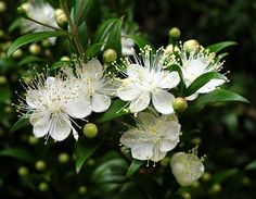 True Myrtle (Myrtus communis), A Beautiful specimen of the Mediterranean Garden...Links to a list of other Mediterranean Plants.