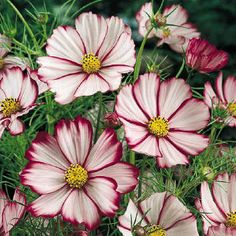 Cosmos Bipinnatus Seeds - Picotee Cosmos flowers are native to Mexico and require full sun. Cosmos work well as cut flowers and are good container plants. The Cosmos seed is a popular source of food f Growing Flowers, Growing Plants, Planting Flowers, How To Attract Birds, How To Attract Hummingbirds, Cosmos Flowers, White Flowers, Cut Flowers, Real Flowers