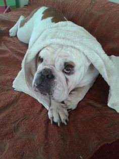 Rosie the English Bulldog in Athnes