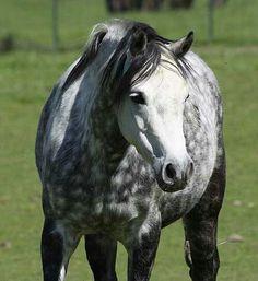 Welsh pony mare 'Rhoson Bon Bon' my DREAM horse !!