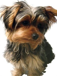 Yorkshire Terrier Glossy Poster Picture Photo Yorkie Dog Puppy Puppies Toy 219