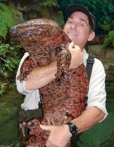 Giant Japanese Salamander. Holy cow!