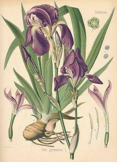 Köhler,H.A. | Iris germanica, Medizinal-Pflanzen, 1887