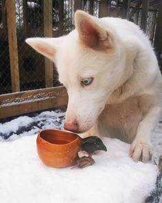 """69 likerklikk, 0 kommentarer – Running Minks Siberian Husky (@runningminks) på Instagram: """"Er det noe godt i koppen ???? Ist da was leckeres in der Tasse??? 🐾 🐾  #runningminks #huskylovers…"""" Husky, Corgi, Animals, Corgis, Animales, Animaux, Animal, Animais, Husky Dog"""