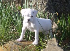 Meaty the White Boxer Pictures 12554