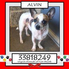 \r\n**Fort Worth, TX - Current Status: URGENT - can be added to the euthanasia list at any time\r\n\r\nReason for URGENT: Hair loss - skin scrape negative\r\n\r\nAnimal ID: 33818249\r\n Name: Alvin\r\n Breed: Chihuahua mix\r\n Sex: Male\r\n Age: 5 years\r\n Weight: 7 lbs\r\n Neutered\r\n Heartworm Negative\r\n\r\nIntake: 10\/24\r\n Found: 900 blk E Leuda St\r\n