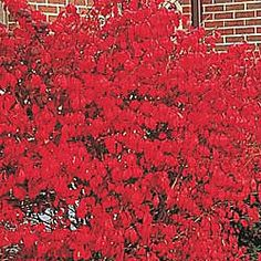 have been wanting to plant for a very long time for fall color. Dwarf Burning Bush | Shrubs from Gurney's Seed and Nursery