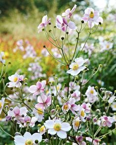 Anemone hupehensis 'September Charm' - a little invasive for me but great in a contained area! Love Flowers, Wild Flowers, Beautiful Flowers, Exotic Flowers, Fresh Flowers, Purple Flowers, Shade Garden, Garden Plants, Flower Farm