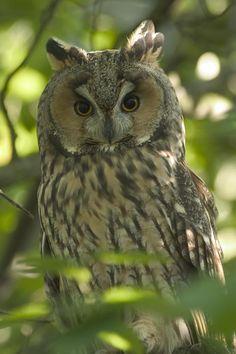 Long-eared Owl / トラフズク