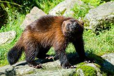 Wolverine, Ähtäri Zoo in Finland Black Bear, Brown Bear, San Francisco Zoo, Toronto Zoo, Chester Zoo, Zoos, Wolverines, Aquariums, Finland