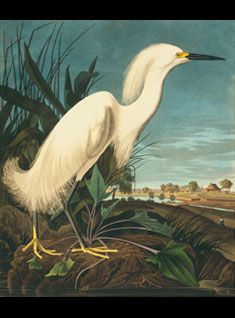 Snowy egret (Egretta thula) by James Audobon