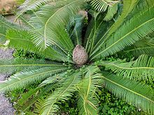 Dioon edule   Dioon is a genus of cycads in the family Zamiaceae. It is native to Mexico and Central America.[3] Their habitats include tropical forests, pine-oak forest, and dry hillsides, canyons and coastal dunes.[4][5][6][7]