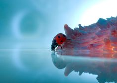 A ladybird, pictured at the water's edge
