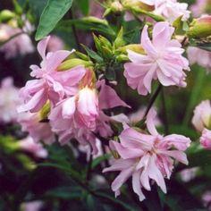 Saponaria officinalis, Soapwort - (Rohto)suopayrtti
