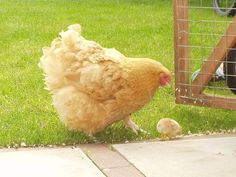Buff Orpingtons are a very popular breed for backyard flocks. They are extremely friendly birds, love people, and even seem to enjoy being picked up and carried around the yard. They are great chickens for children as Orpingtons might well possess the sweetest personality of the popular backyard chicken breeds. Buff Orpingtons are very hardy in all weather conditions and lay medium to large size brown eggs. Orpingtons also have a bantam (miniature) counterpart.