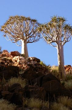 The magical quiver tree in its natural habitat in the Lower Orange River Valley.  #quivertree #northencape #southafrica #botany #trees #naturalhabitat