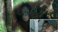 TIL that 35 policemen armed with AK47's had to rescue a shaved orangutan that was being used as a sex slave in a Borneo brothel in Indonesia.
