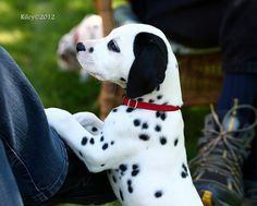 Dalmatian puppy (his black ear is called a Patch) seeking attention at the puppy picnic. File0040