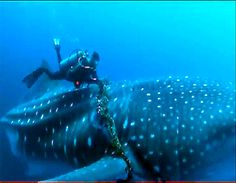 divers rescuing a sharkwhale