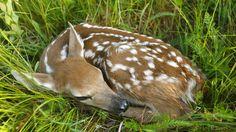 Newborn White-Tailed Deer, Shenandoah National Park, Virginia