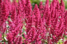 Pink flowers contrasting with dark stems My Flower, Flower Power, Library Pictures, Astilbe, Spring Is Here, Terrazzo, Pink Flowers, Nature, Plants