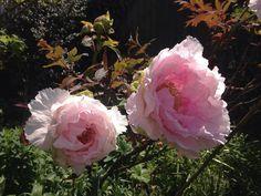 #peonies in mum and dad's garden  #peony