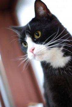 白黒 はちわれ 猫 - Google 検索