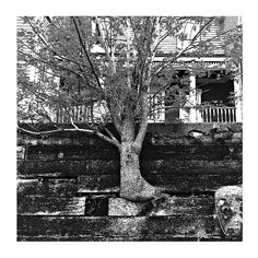 Won't take no for an answer : alt. #cameranoir #blackandwhitephotography  #tree #forced #persistent #nature #wall