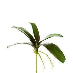 Sage & Co 12-inch Phalaenopsis 3 Foliage
