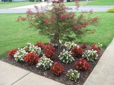 Japanese Maple and red and white begonias (annuals). Home Landscaping, Front Yard Landscaping, Garden Front Of House, Annual Flowers, Japanese Maple, Begonia, Flower Beds, Horticulture, White Flowers