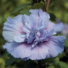 Deer leave it alone, but butterflies frequent the anemone-like blooms!http://www.waysidegardens.com/blue-chiffon-hibiscus-syriacus-shrub/p/v1672/