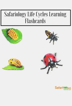 Back to School time: Homework Station must add! Safariology Life Cycle Flashcards on the life of a Lady Bug. Help your kids learn through the art of imaginative play! DIY Back To School Hack.