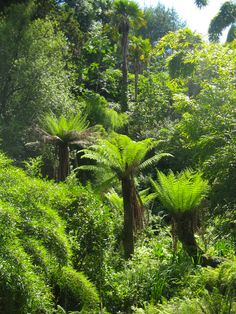 The oldest tree ferns in the Lost Gardens of Heligan, Cornwall