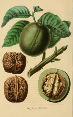 Juglans regia (English Walnut) - circa 1853.