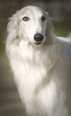 Silken Windhound Puppy Dog