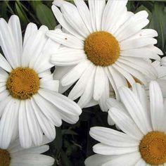 "Shasta daisies - fill a ""moon garden"""