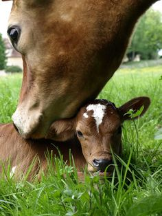 Momma kissing her calf.......